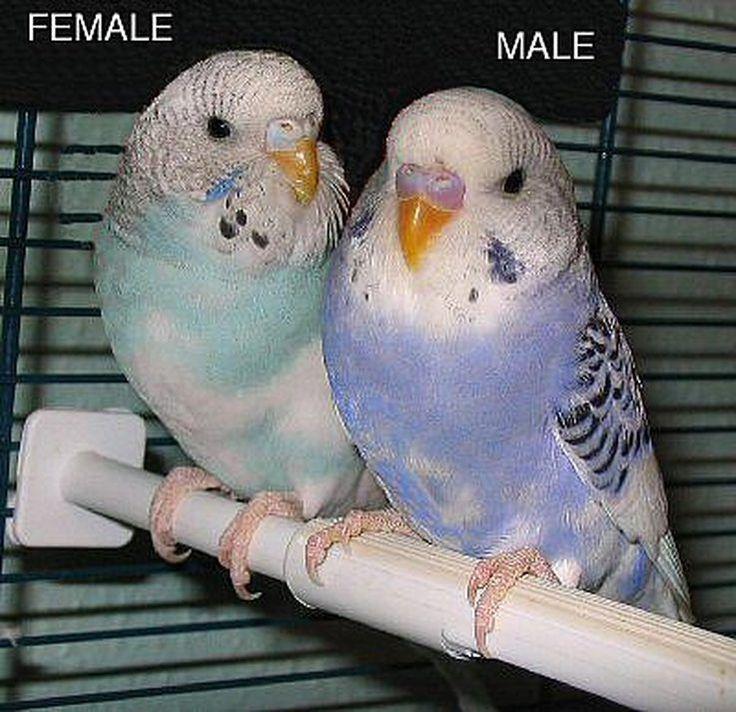 Полезные рекомендации по выбору волнистого попугая