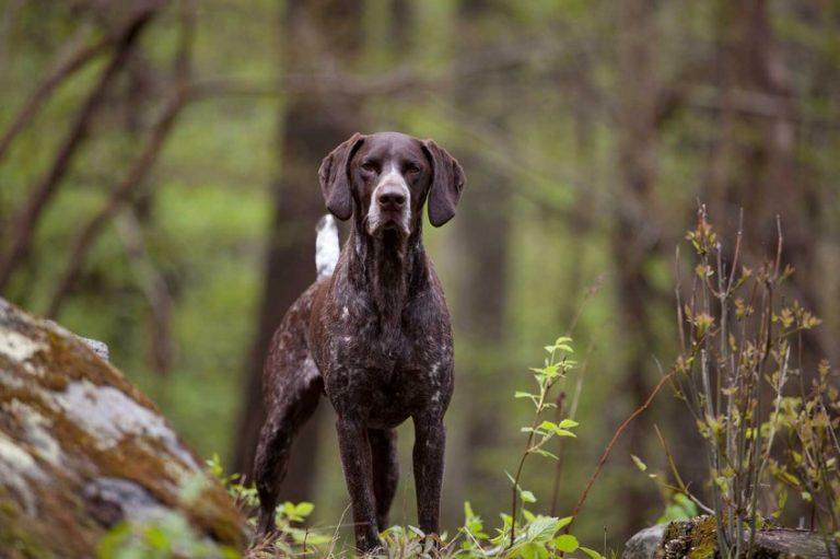 Лучший друг охотника — универсальный курцхаар