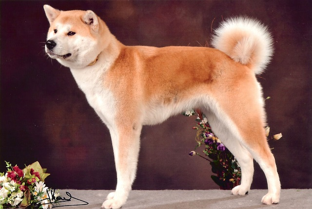 Японские породы собак (77 фото): большие и маленькие собаки рыжего, белого и тигрового окраса, охотничьи и служебные разновидности