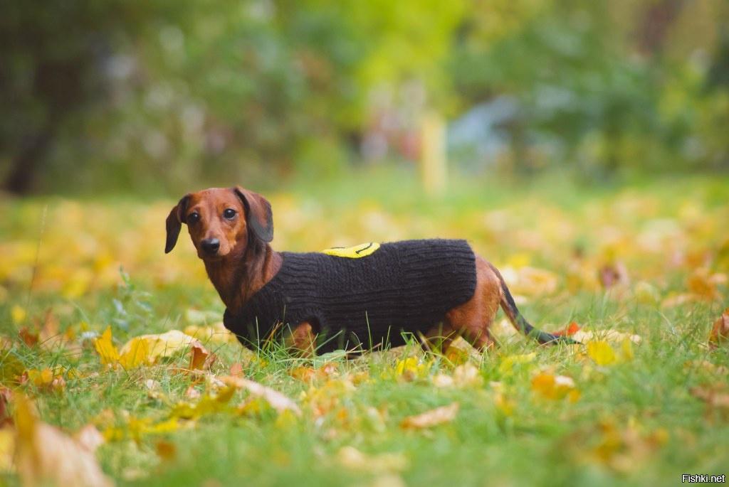 Карликовая такса — еще миниатюрнее, еще милее ⋆ собакапедия