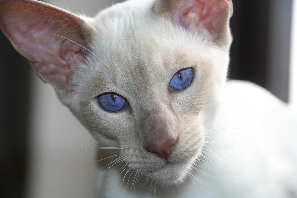 Правда ли, что белые коты с голубыми глазами глухие? - ростки жизни