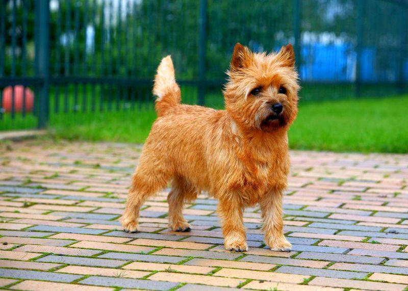 Керн-терьер — описание породы, уход за щенками и взрослой собакой