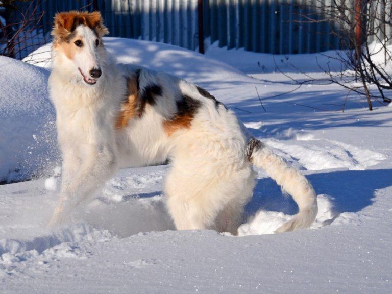 Описание русской псовой борзой, особенности экстерьера