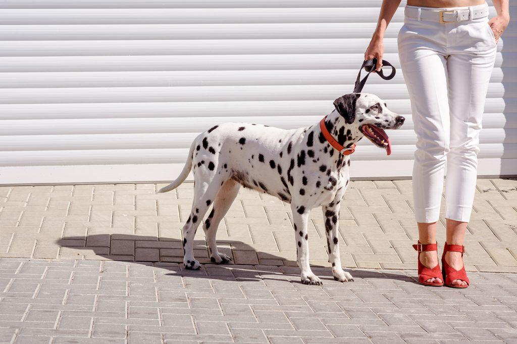 Далматин или далматинец: описание породы собак и характер.