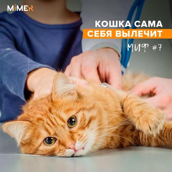 """Вирусный иммунодефицит кошек (fiv или вик) - симптомы, лечение, прогноз. ветеринарная клиника """"зоостатус"""""""