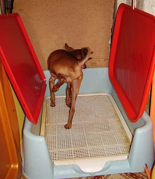 Как приучить собаку ходить в туалет на улице? инструкция по приучению щенка к туалету на улице. как научить взрослую собаку проситься в туалет на улицу в частном доме?