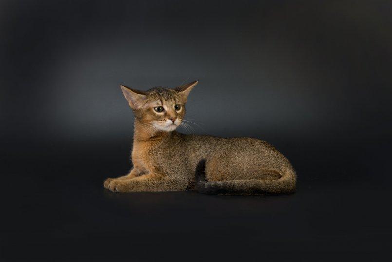 Чаузи: описание породы, уход, фото кошки, цена