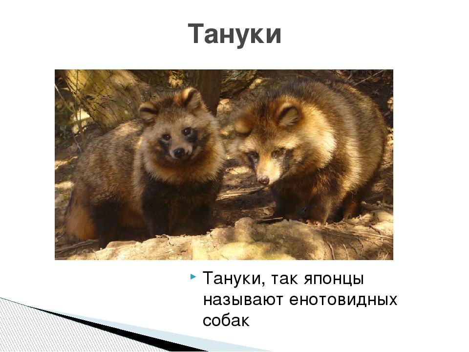 Тануки - кто это или енотовидная собака: описание животного