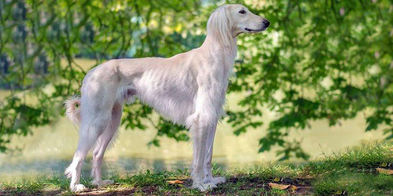 Тайган (киргизская борзая): описание породы собак с фото и видео