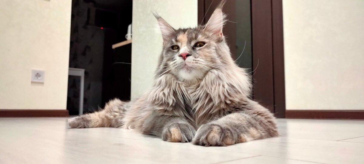 6 отличий мейн-куна от обычной кошки