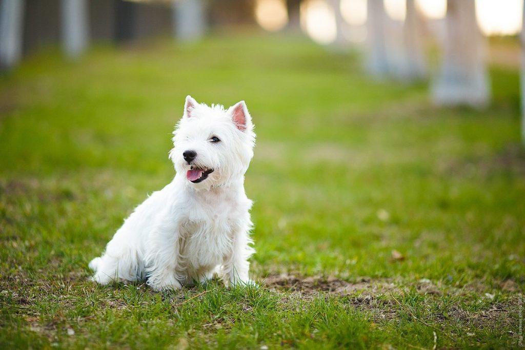 Собака вест хайленд уайт терьер: описание, фото и характеристики породы