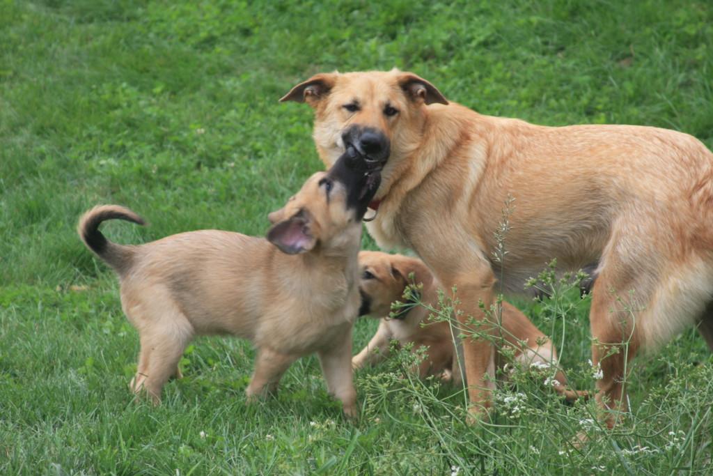 Описание породы собак чинук