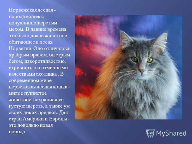 Норвежская лесная порода кошек: описание ихарактер, размеры, окрасы, особенности ухода, фото, цена котят впитомнике + отзывы