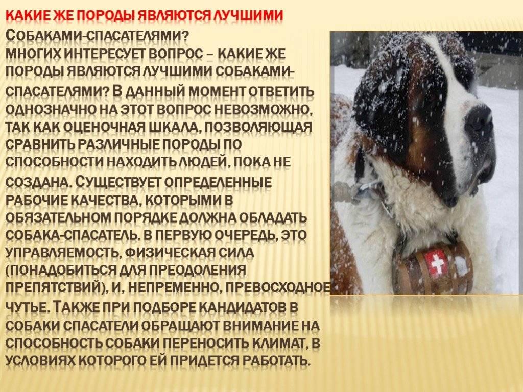Собака породы «водолаз» глазами ветеринара
