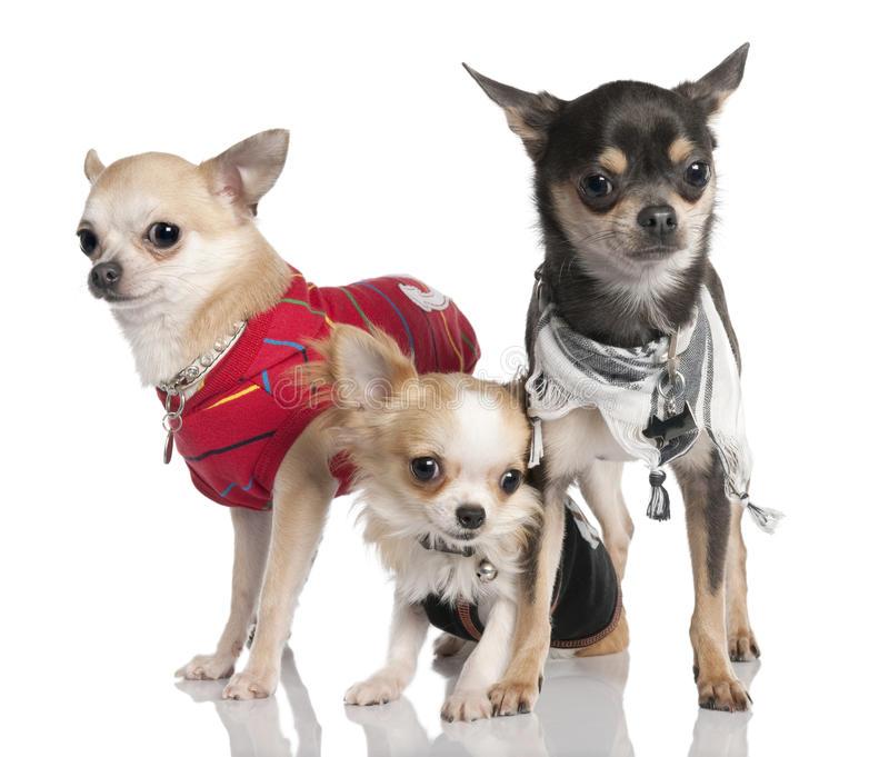 Одежда для чихуахуа — для щенков, девочек и мальчиков