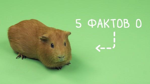 Правила содержания морских свинок