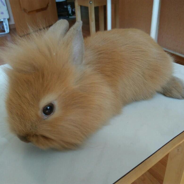 Декоративные карликовые кролики: описания пород, цены, видео   сайт о домашних животных