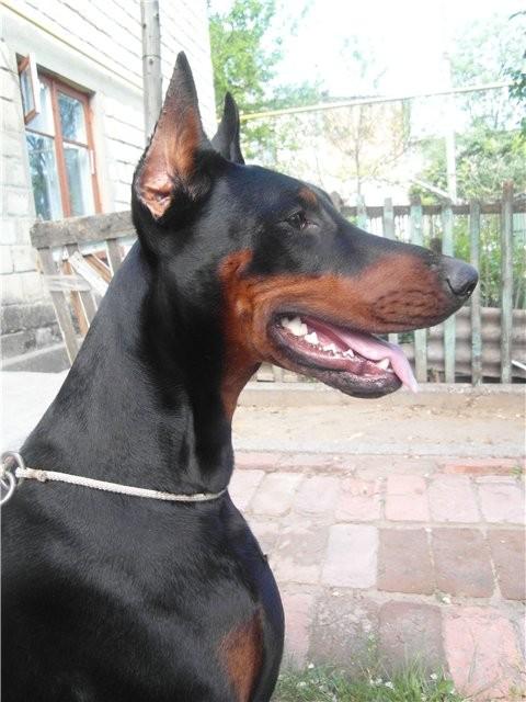 Зачем купировать уши собаки: целесообразность процедуры, возраст, показания и противопоказания, уход