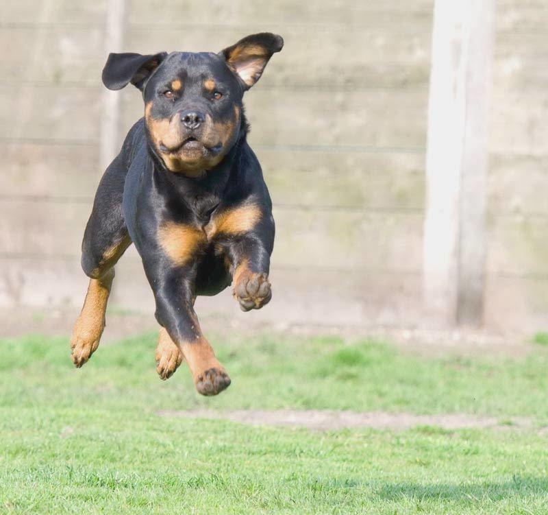 Самые злые собаки в мире (топ-10 агрессивных пород)