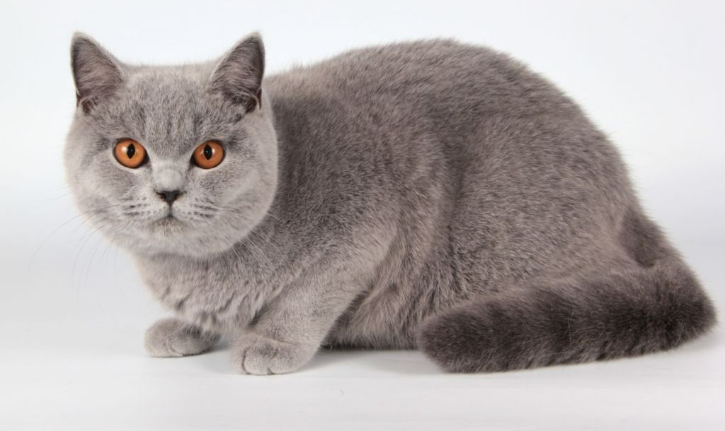 Породы короткошерстных кошек