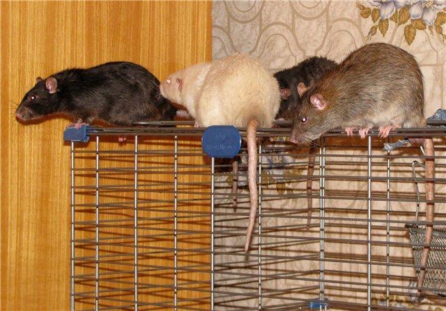 Домашняя крыса: отзывы, содержание, уход, кормление, разведение. сколько живет крыса в домашних условиях