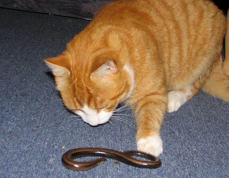 Паразиты у кошек: симптомы, средство от паразитов, обработка кошки