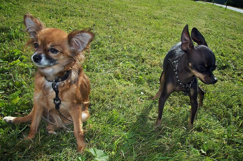 Описание породы собак чихуахуа мини: характер, уход, предназначение