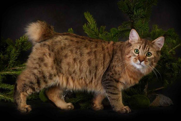 Порода кошек похожих на рысь: фото, список