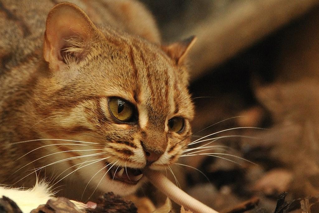 Самая маленькая кошка: какую породу предпочесть