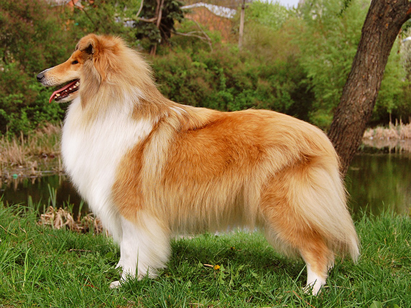 Колли собака. описание, особенности, виды, цена и уход за породой колли
