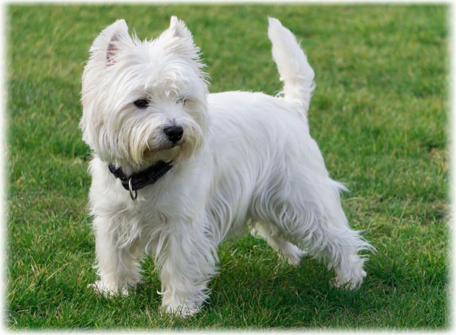 Вест-хайленд-уайт-терьер: описание породы, цена щенков