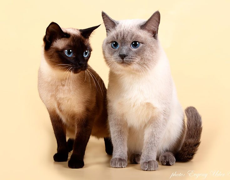 Тайский бобтейл — происхождение и характеристика породы (окрас шерсти, темперамент, плюсы и минусы кошки, фото)