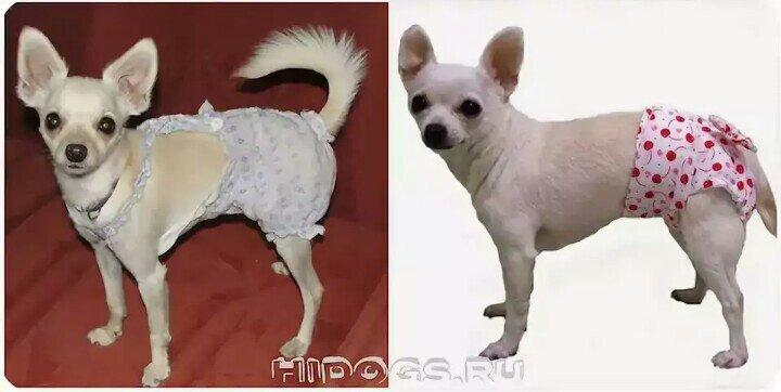 Собака чихуахуа - фото, цена, клички, описание