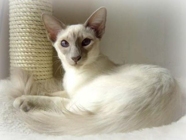 Яванез или яванская кошка характеристика породы, фото, характер, правила ухода и содержания - petstory
