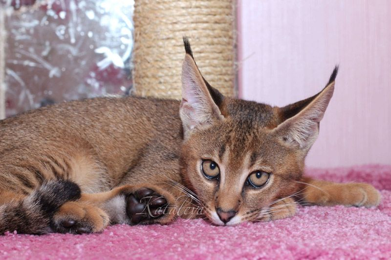 ᐉ какая порода кошек похожая на рысь? - zoomanji.ru