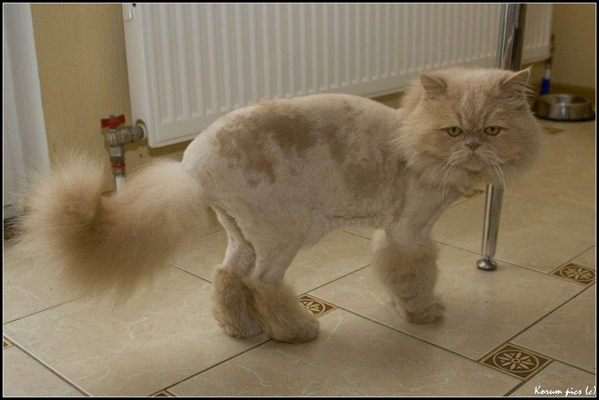 Как подстричь кота: стрижка шерсти кошки в домашних условиях