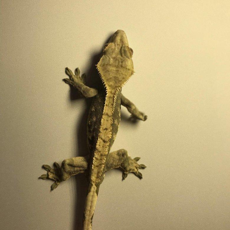 Ресничный геккон-бананоед: фото, видео, содержание и уход