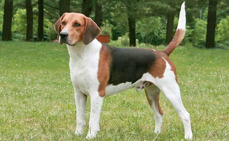 Описание породы бигль: характер собак, внешний вид, здоровье, плюсы и минусы, особенности содержания в квартире и фото питомцев
