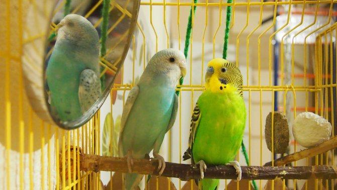 Клички для попугаев мальчиков: 2000+ необычных простых имён на 2021 год