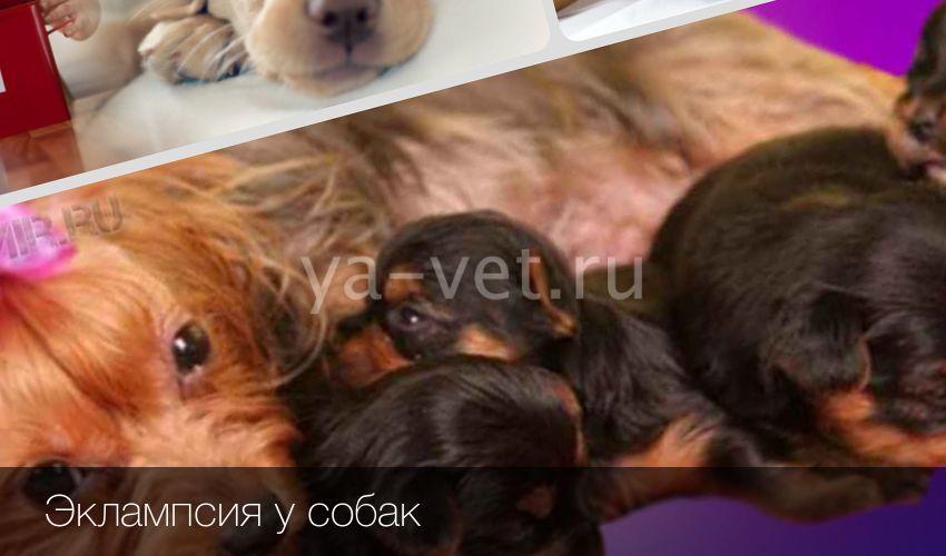 Послеродовая эклампсия у собак и кошек, статьи nita-farm
