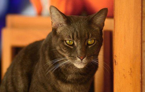 Чаузи – потомок камышового кота
