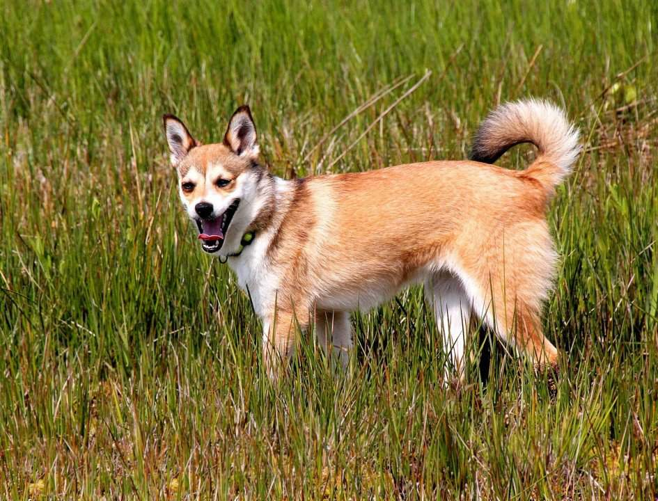 Норвежский лундехунд (лайка): описание породы, характер, уход, фото   все о собаках