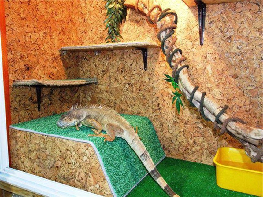 Правильное содержание и уход за игуаной в домашних условиях