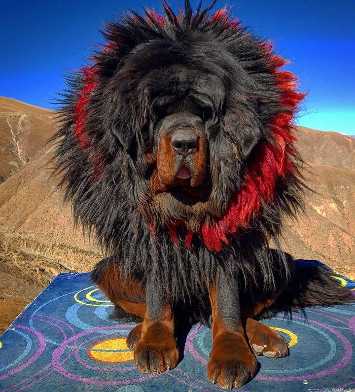 Самые дорогие собаки (39 фото): названия дорогих больших и маленьких пород собак в мире и в россии