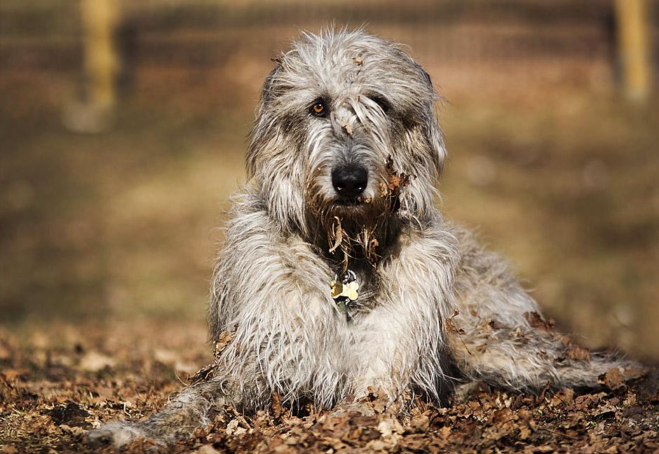 Ирландский волкодав: описание породы с фото и видео