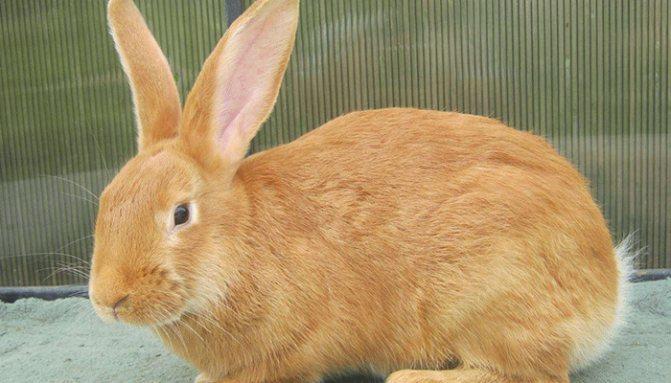 ᐉ бургундская порода кроликов: описание и характеристика - zooon.ru
