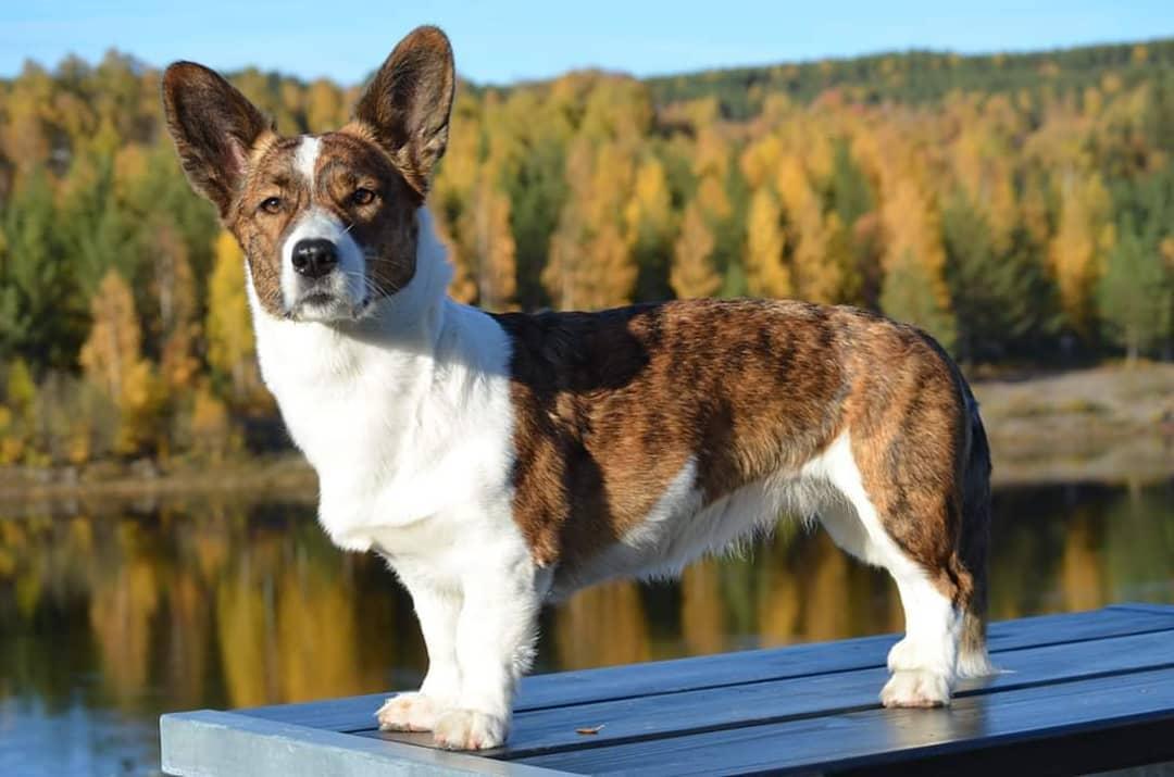 Виды и описание породы собак корги | мур тв
