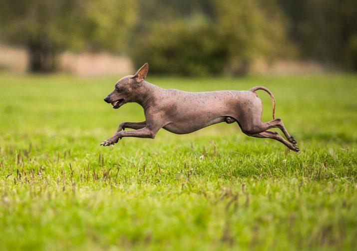 Перуанская собака с шерстью