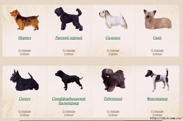 Виды терьеров (55 фото): японские золотистые терьеры и другие виды средних размеров, маленькие собаки и большие разновидности щенков