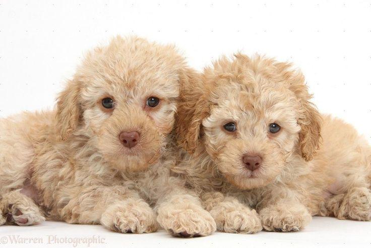Лабрадудель (лабрадудль, лабропудель) — фото, описание и характер собаки, правила ухода и содержания